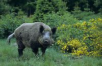 Wildschwein, Wild-Schwein, Schwarzwild, Schwarz-Wild, Schwein, Sus scrofa, wild boar, pig
