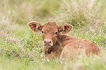 Brazoria County, Damon, Texas; a tan newborn calf laying down while resting in a pasture