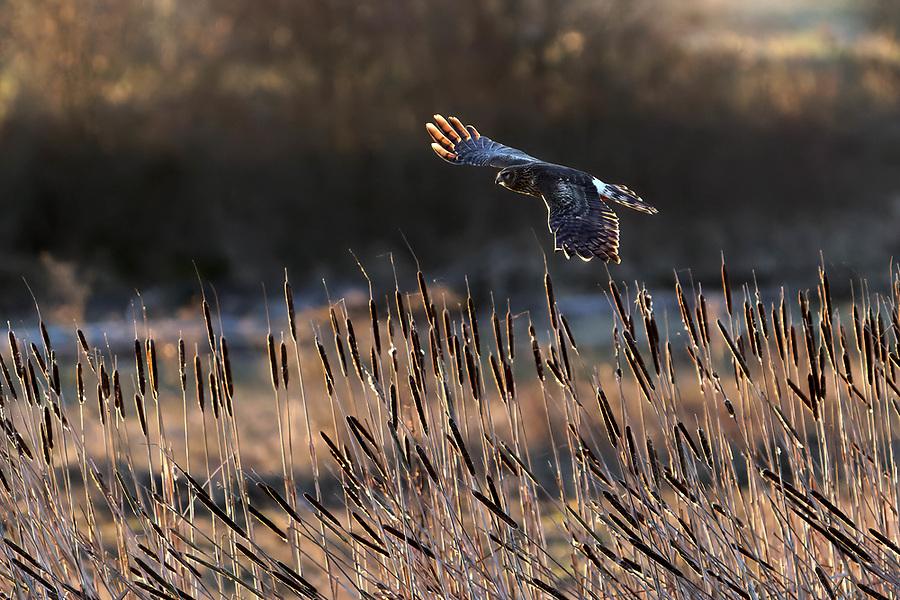 Northern harrier (Circus hudsonius) in flight hunting over wetland, Fir Island, Washington, USA