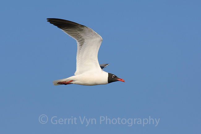 Adult Laughing Gull (Larus atricilla) in breeding plumage in flight. Texas. March.