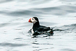 Atlantic Puffin swims near Eastern Egg Rock in Maine.  This is a member of the Auk family and one of over 350 puffins on this island in the Gulf of Maine.