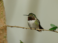 Rufous Hummingbird Perched on Tree Branch