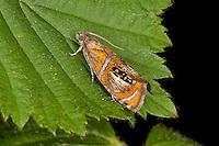 Prachtwickler, Pracht-Wickler, Olethreutes arcuella, Olethreutes arcuana, Arched Marble, tortrix moth, Wickler, Tortricidae, tortrix moths
