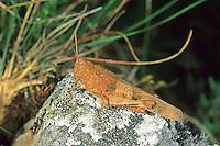 Blauflügelige Ödlandschrecke, Blauflüglige Ödlandschrecke, Ödland-Schrecke, Oedipoda caerulescens, blue-winged grasshopper