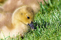 A baby Canada Goose enjoys grazing on the grass beside a pond in Oakville Ontario