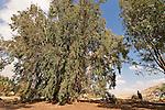 T-042 Eucalyptus Tree in Be'erotaim