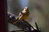 African Pipit in Tenikwa Wildlife Rehabilitation Centre, Plettenberg Bay, South Africa.