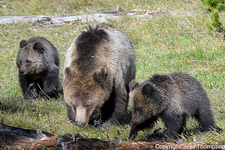 Grizzly Bear with two cubs in Grand Tetons
