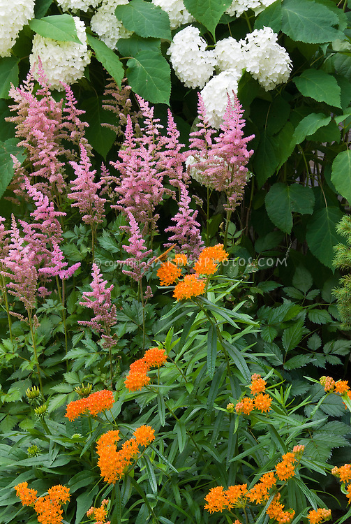 Asclepias butterfly weed Astilbe, Hydrangea, heirloom and old-fashioned flowering plants