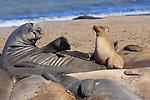 California Sea Lions Edit 9-11