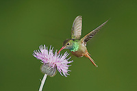 Buff-bellied Hummingbird (Amazilia yucatanenensis), male feeding on thistle, Sinton, Corpus Christi, Coastal Bend, Texas, USA