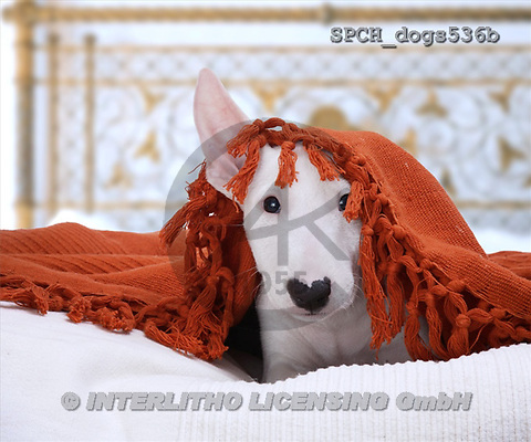 Xavier, ANIMALS, dogs, photos(SPCHdogs536b,#A#) Hunde, perros
