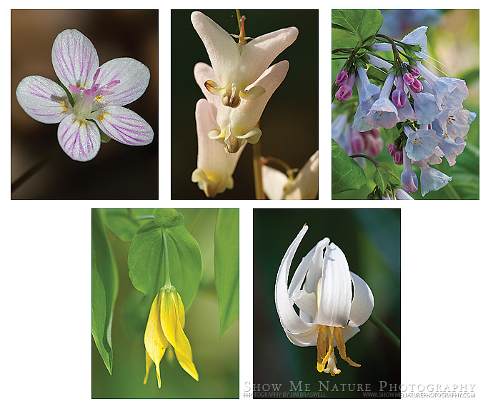 """Boxed set of 10 Woodland Wildflower note cards (folded, blank inside), 2 of each of the pictured images, and 10 blank, white envelopes. To purchase, click on image until a """"Buy Prints"""" button appears above the image."""