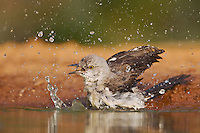 Northern Mockingbird (Mimus polyglottos), adult bathing, Rio Grande Valley, Texas, USA