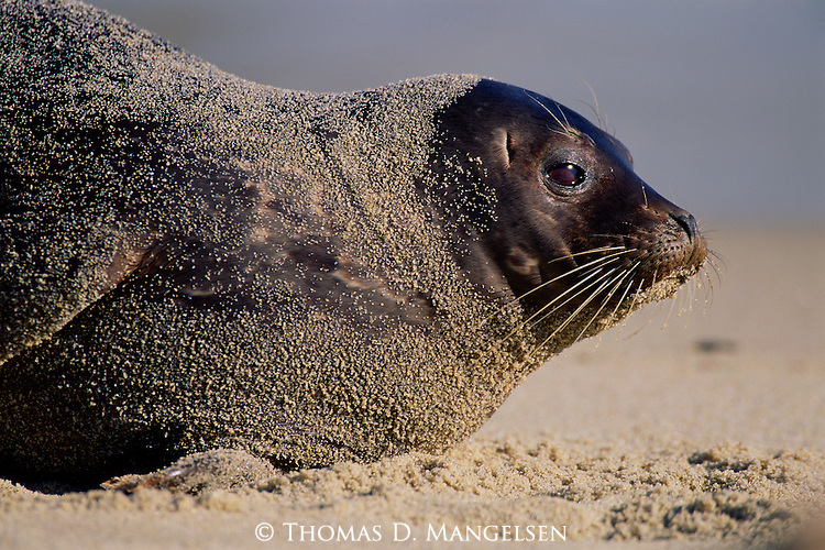 A harbor seal covered in sand lies on a beach in Southern California.