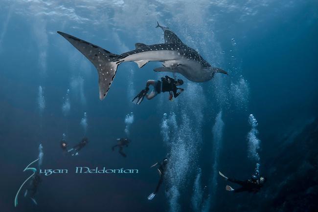 Whale shark meets divers, Rhincodon typus, Tubbataha, Philippines