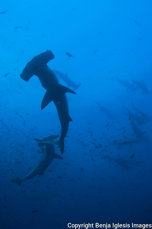 A group of hammerheads sharks swimming through the pacific ocean waters.
