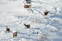 Red deer stags standing in the snow