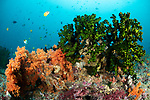 Banda Neira Island, Banda Sea, Indonesia; an aggregation of butterflyfish and triggerfish swimming above a colorful coral reef with orange soft corals and bright green black sun corals