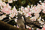 April 3, 2016, Tokyo, Japan - Pigeons sit on a branch of a cherry tree under fully bloomed cherry blossoms at a park in Tokyo on Sunday, April 3, 2016. Despite the rain, people enjoyed cherry blossom viewing party. (Photo by Yoshio Tsunoda/AFLO) LWX -ytd-
