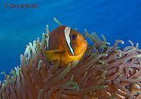 0320-1101  Clark's anemonefish (Yellowtail clownfish), Amphiprion clarkii, with Bulb-tipped Anemone, Entacmaea quadricolor  © David Kuhn/Dwight Kuhn Photography.