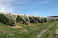 Agricoltura. Agriculture.Filari di mele con rete di protezione contro la grandine..Rows of apples with a net of protection against hail....