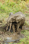 African Forest Elephant (Loxodonta africana cyclotis) bull drinking, Lope National Park, Gabon