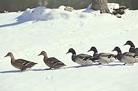 Line of mallard ducks walking across snow towards the water