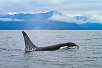 Orca or killer whale, Orcinus orca, near Tenakee Inlet, Alaska, USA, Pacific Ocean