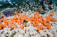 plumose anemone, Metridium senile, California mussels, Mytilus californianus, and purple sea star, Pisaster ochraceus, Browning Pass, British Columbia, Canada, Pacific Ocean