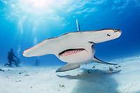 great hammerhead, Sphyrna mokarran, endangered species, South Bimini, Bimini, The Bahamas, Atlantic Ocean