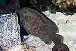 Graysby resting on coral reef shelf behind sea vase.