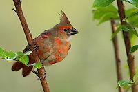 """First summer, first year juvenile cardinal in """"transition"""" at first light, around 7:00am."""