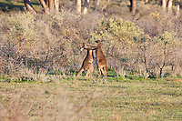 Western Red Kankaroo boxing, Wilpena Pound, Flinders Range, SA, Australia