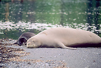 Hawaiian monk seal, Neomonachus schauinslandi, four-time mother on the Big Island, all on different beaches. With pup at Hakalau County Park in July 2005. She isn't named, but has an oval scar on her right flank. Endangered and endemic, Hawaii the Big Island, Hawaii, USA, Pacific Ocean