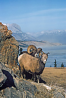 Rocky Mountain Bighorn Sheep ewe and ram (Ovis canadensis) during the fall mating season.  Northern Rockies, Nov-Dec.
