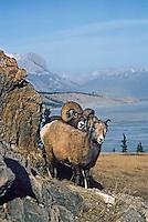 Rocky Mountain Bighorn Sheep ewe and ram (Ovis canadensis) during the fall mating season.  Northern Rockies, Nov-Dec.