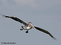 0307-0850  Flying Brown Pelican, Pelecanus occidentalis © David Kuhn/Dwight Kuhn Photography