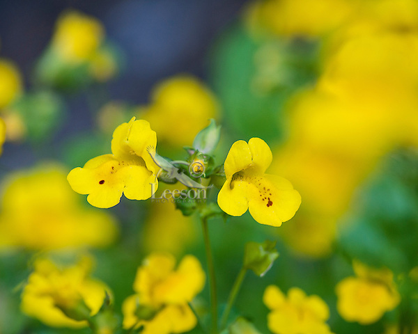Common Monkeyflower or yellow monkeyflower (Mimulus guttatus).  Pacific Northwest.  Summer.