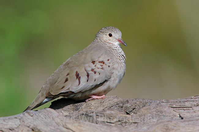 Adult female Common Ground-Dove (Columbina passerina). Hidalgo County, Texas. March.