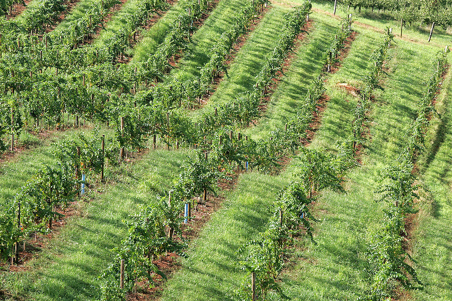 Carters mountain orchard. vineyard grapes, orchard