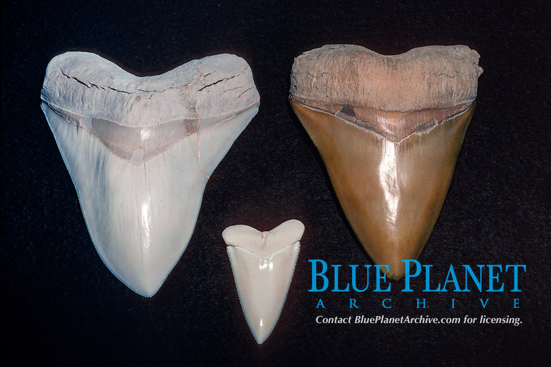 fossil teeth of megalodon, Carcharocles megalodon, an extinct species of shark, contrasted with tooth of great white shark, Carcharocles carcharias