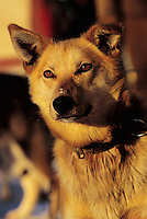 Portrait of an Iditarod sled dog. Alaska.