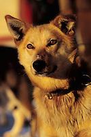 Portrait of an Iditarod sled dog. Alaska.