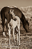foal,fighting MustangsMcCullough Peaks Mustangs Wild Horse Photography by western photographer Jess Lee. Pictures of mustangs in the West. Fine art images,Prints,photos Wild horse photo,wildhorses in the american west,