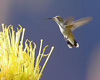 Female black-chinned hummingbird at century plant bloom