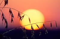 F00015.tiff   Wild oats and sunrise with morning dew. Near Alpine, Oregon
