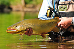 Spring Brown Trout Release