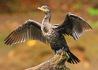 Juvenile neotropic cormorant drying feathers