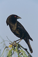 Bronzed Cowbird, Molothrus aeneus, male displaying, Welder Wildlife Refuge, Sinton, Texas, USA